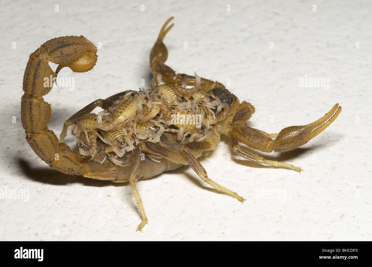 Hottentota scorpion, carrying its young, photographed in Tanzania, Africa - Stock Image