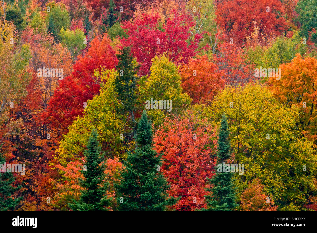 Autumn maple trees and Spruces on hillside, Elliot Lake, Ontario, Canada - Stock Image