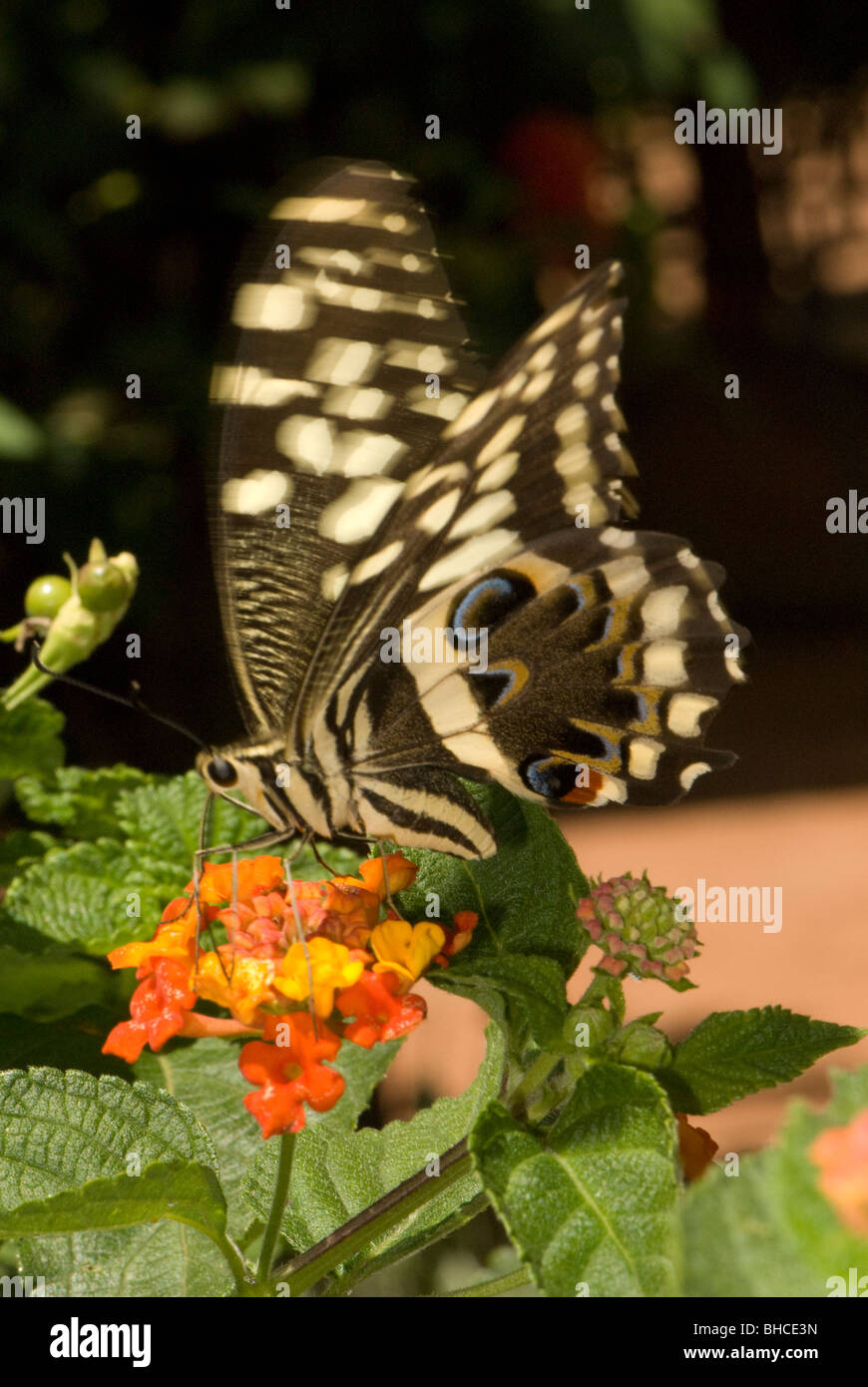 Papilio grosesmithi photographed in Tanzania, Africa foraging on the nectar of Lantana flowers - Stock Image