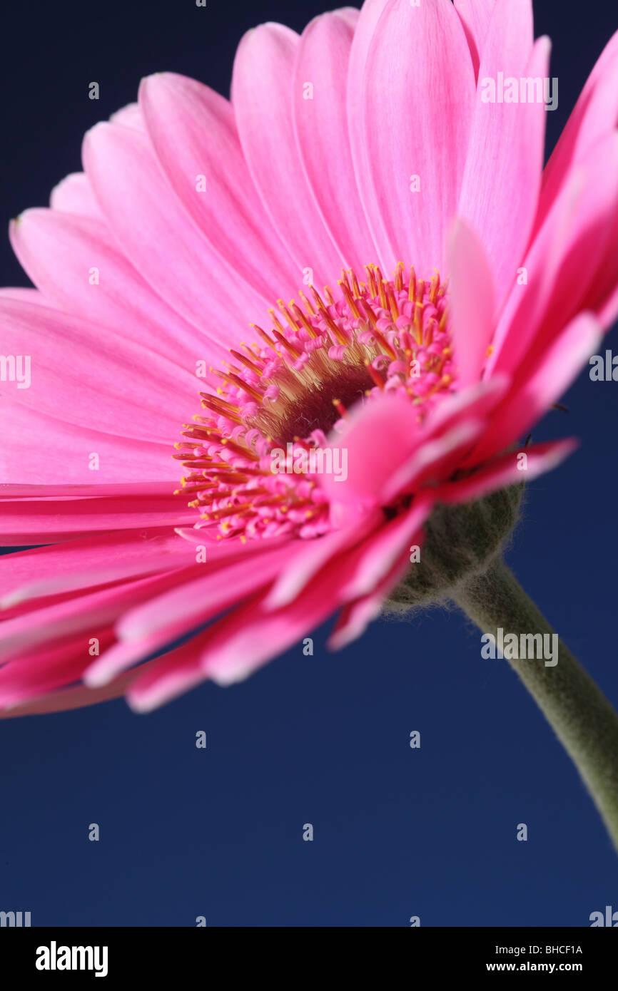 Single pink Gerbera portrait against a blue background - Stock Image