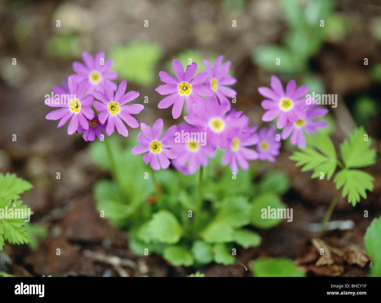 Wedgeleaf primrose, Mt Taisetsu, Hokkaido, Japan Stock Photo
