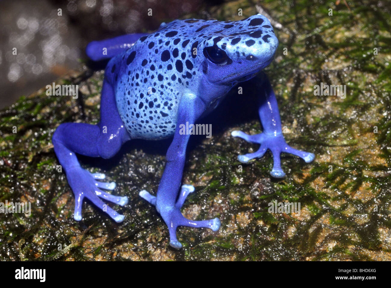 Suriname Poison Arrow Frog ( Dendrobates azureus). Typically a ground frog, found among moss covered trees and rocks. - Stock Image