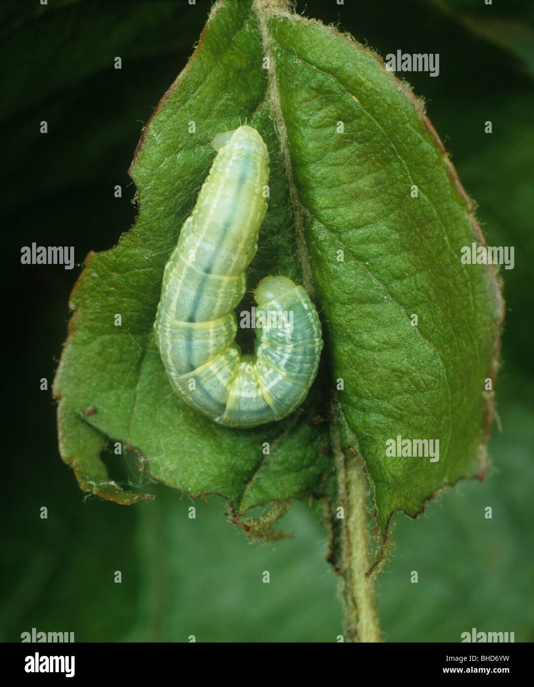 Winter moth (Operophtera brumata) caterpillar on an apple leaf Stock Photo