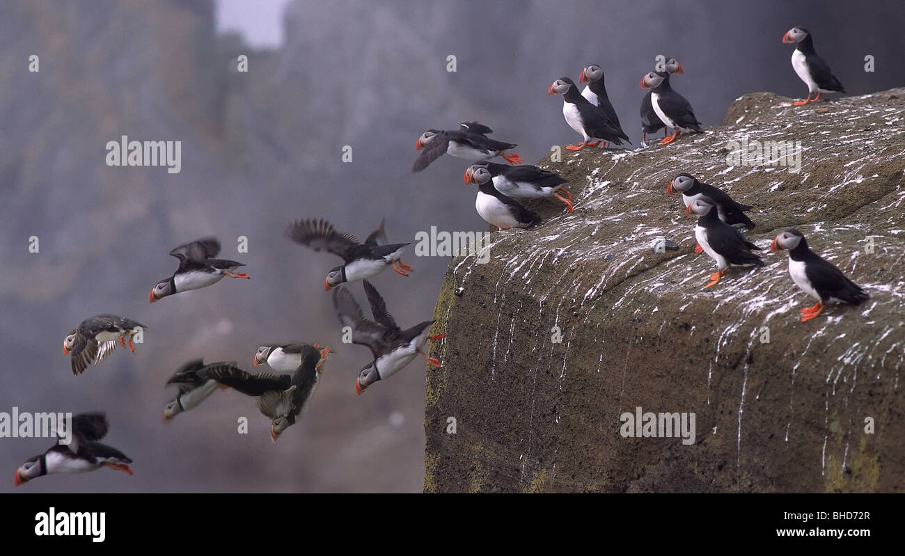 North Atlantic Puffin, Iceland - Stock Image