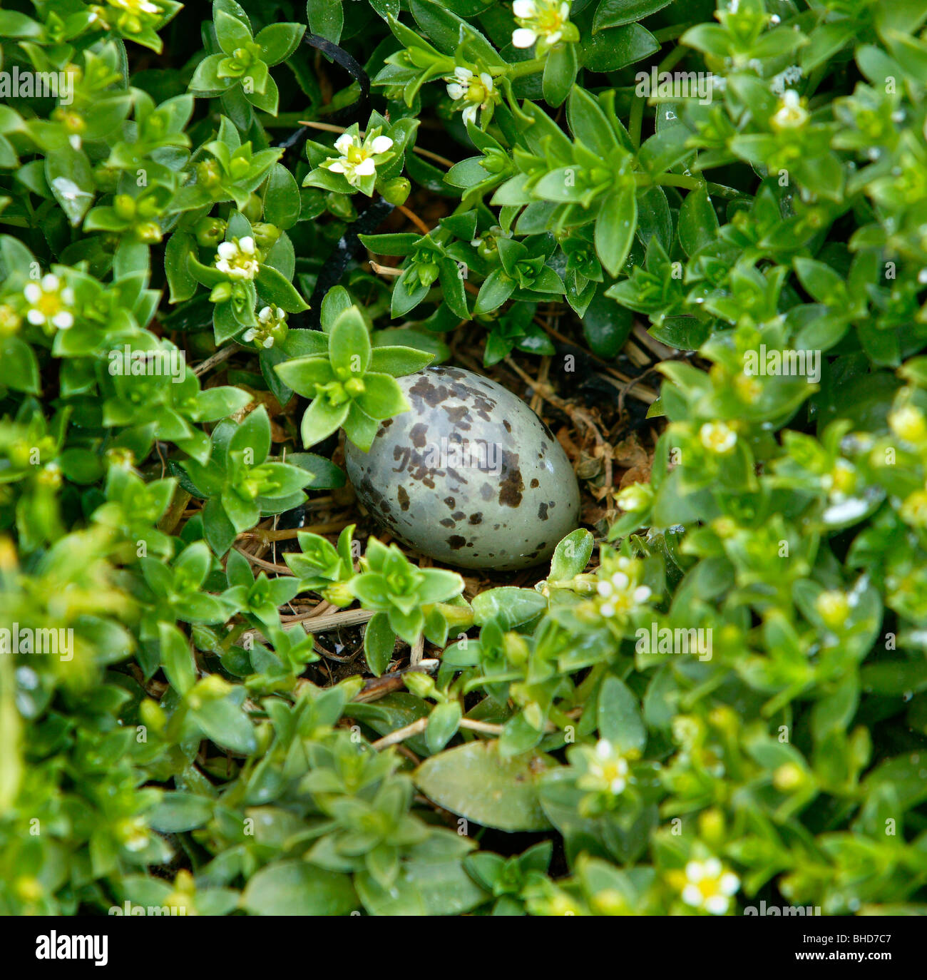 Egg in nest of Arctic Tern, Iceland - Stock Image