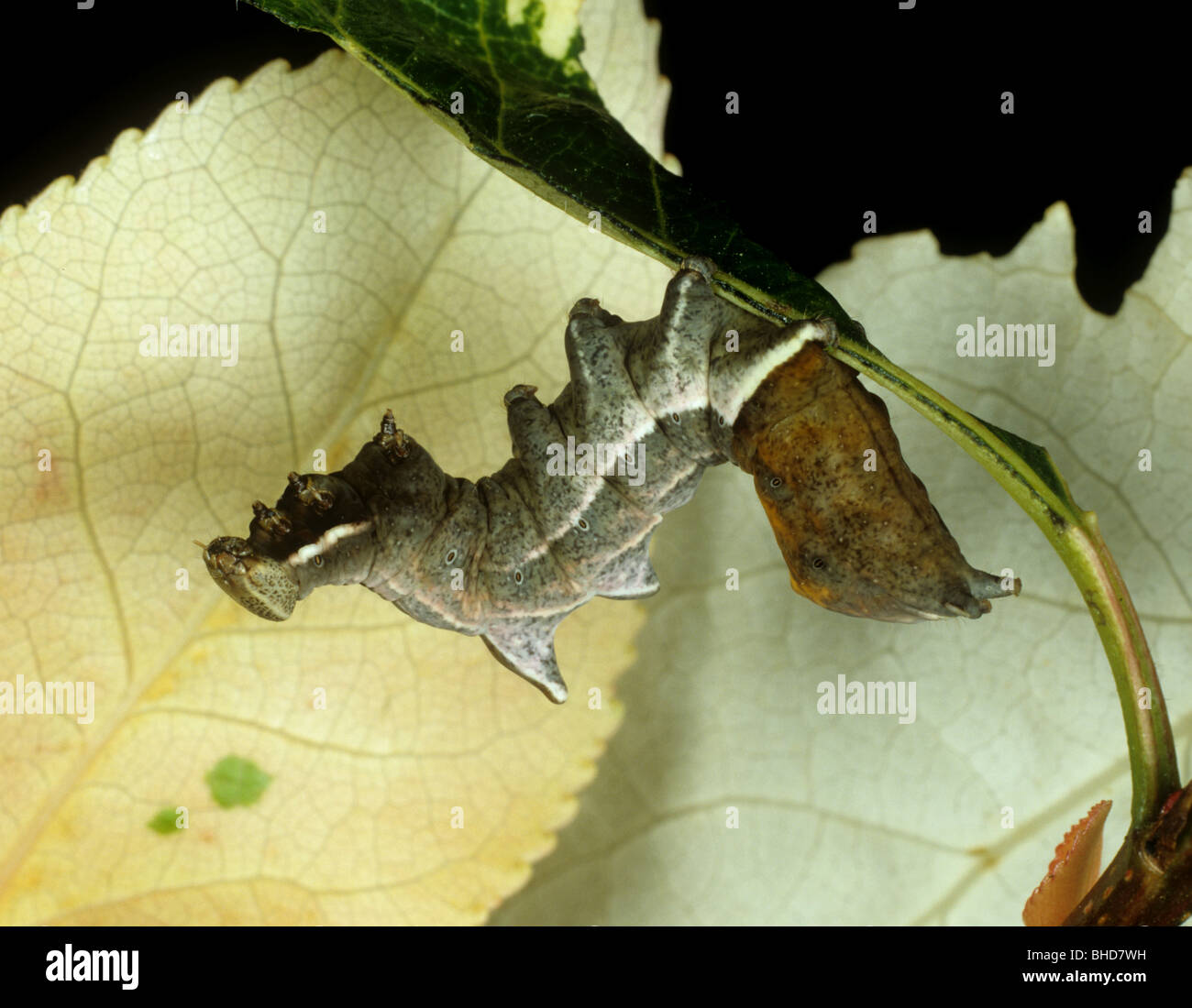A pebble prominent moth (Eligmodonta ziczac) caterpllar on an ornamenta tree leaf - Stock Image