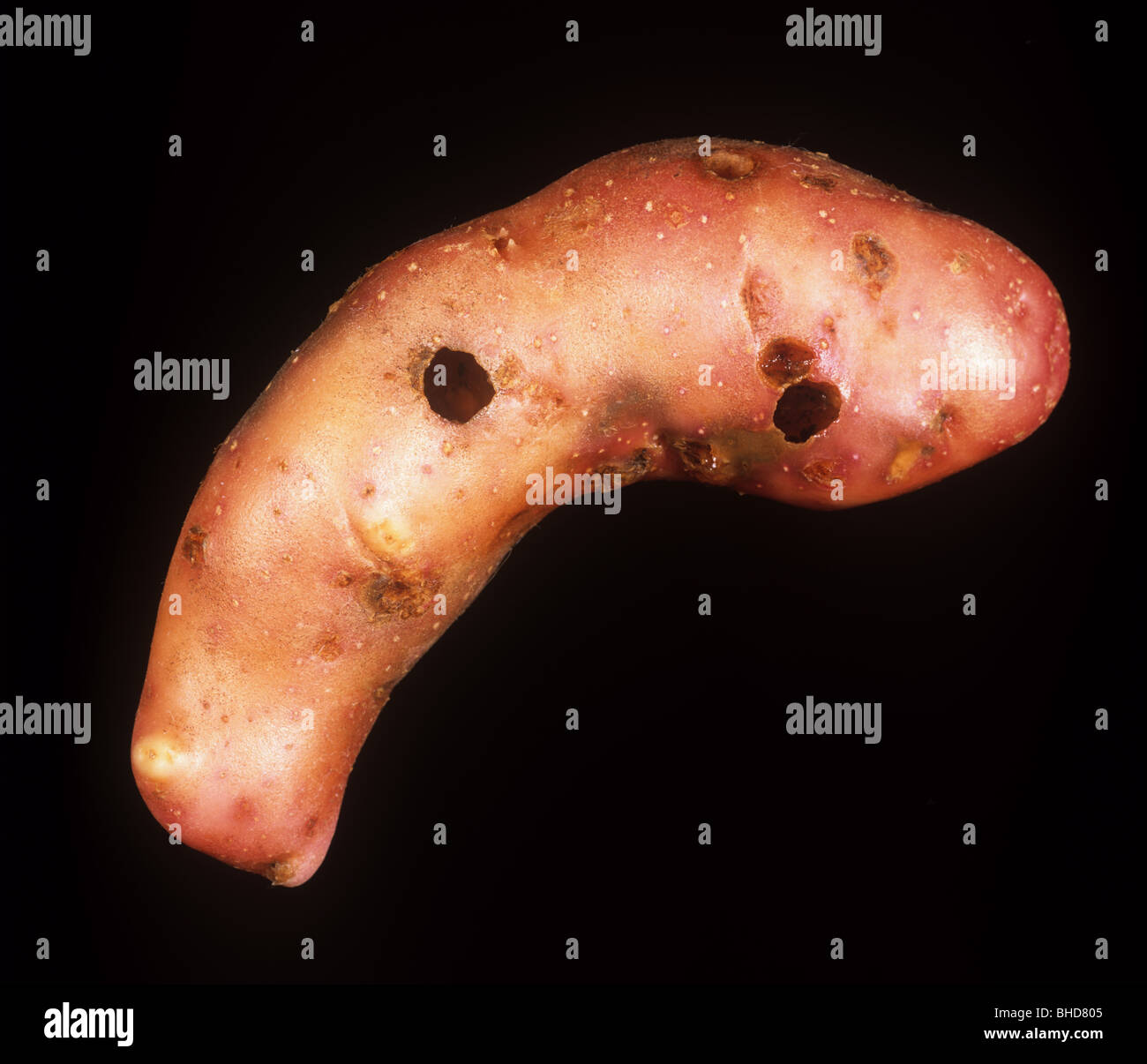 Severe external slug damage to a pink fir apple potato - Stock Image