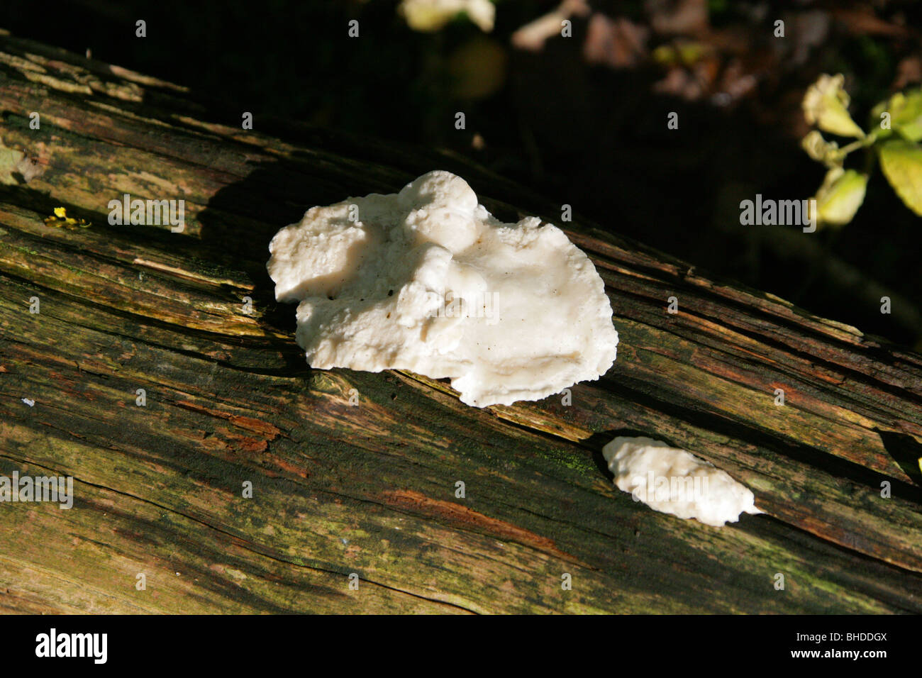 Hard White Fungal Growth on a Barkless Dead Beech Tree. - Stock Image
