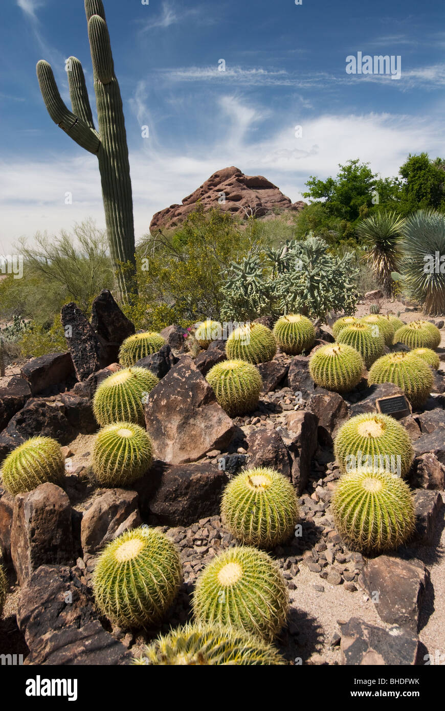 Barrel Cacti at Desert Botanical Garden Phoenix Arizona Stock Photo ...