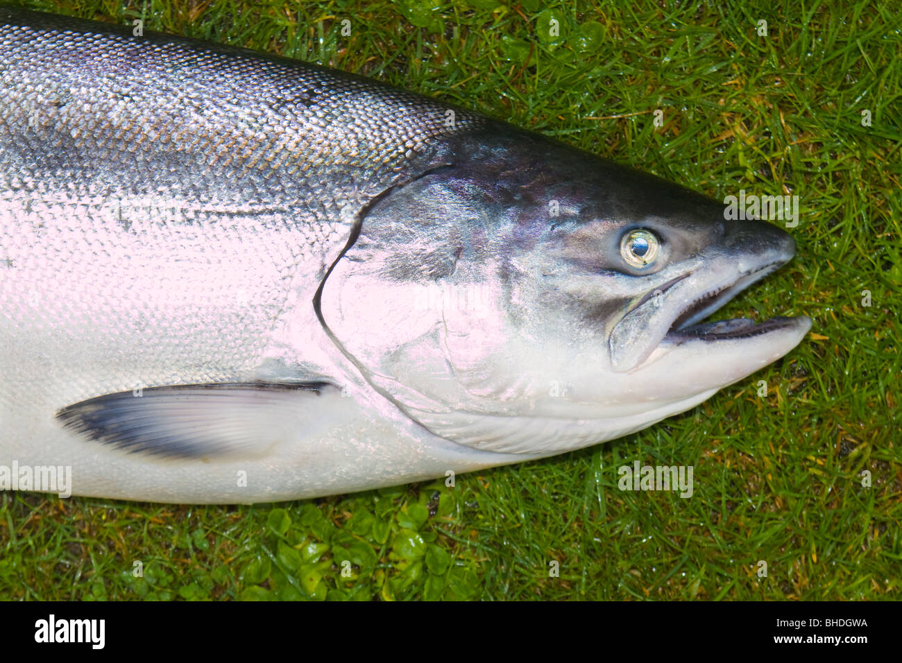 What is chinook salmon
