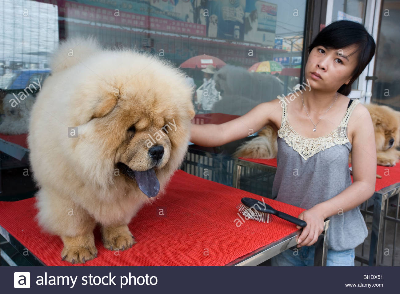 A Chowchow being groomed at the 'Dong Feng Xin' dog market. Beijing, china - Stock Image