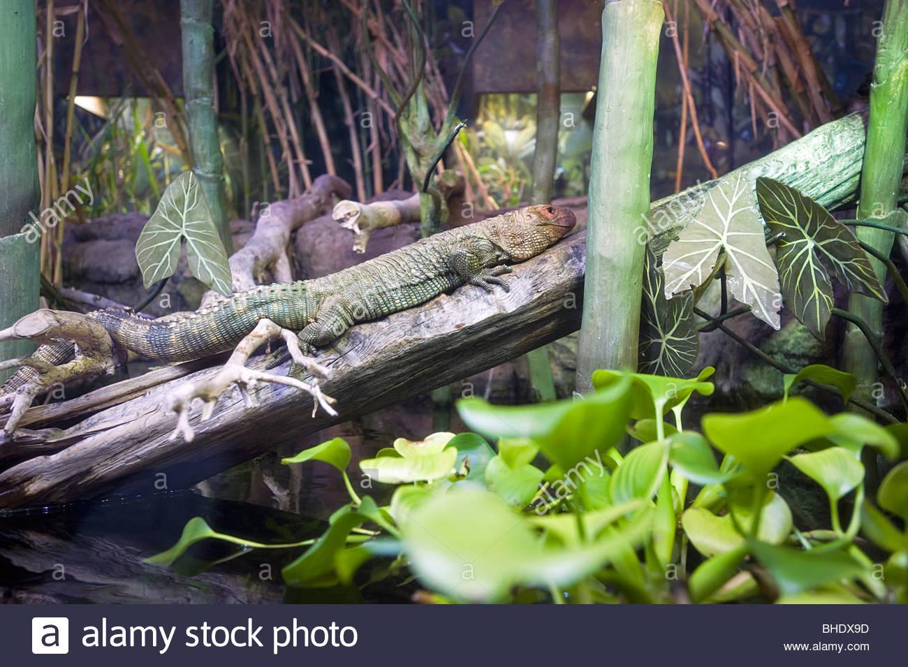 Iguana from central America at the Shedd Aquarium. Chicago, illinois, usa - Stock Image