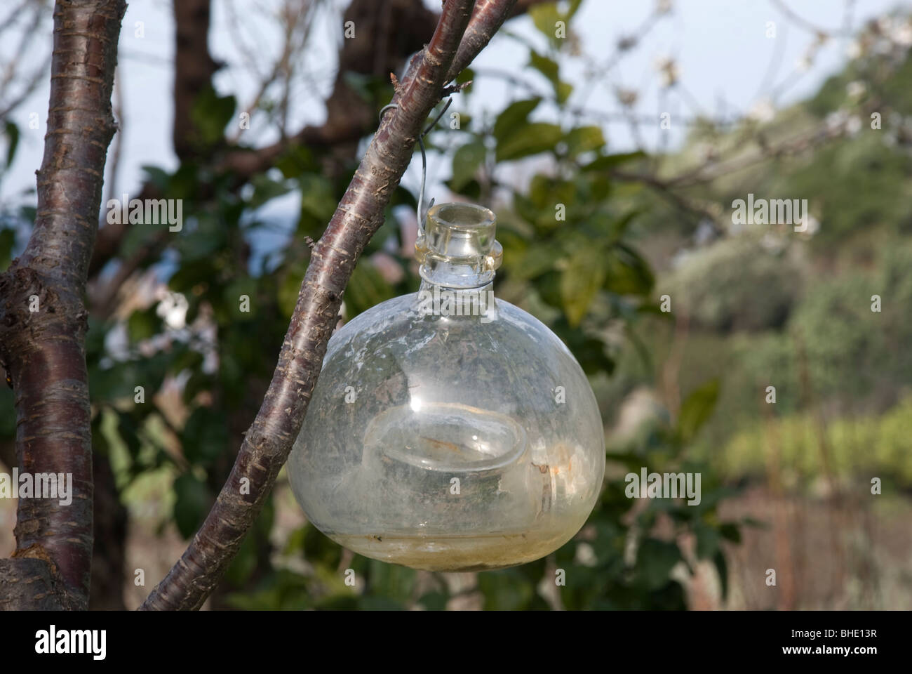 glass vessel for catching insect pests in trees Stock Photo