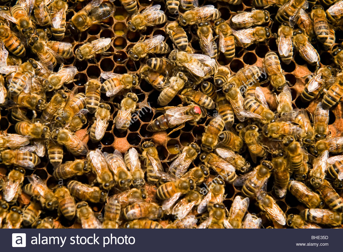 beekeeping, queen bee - Stock Image