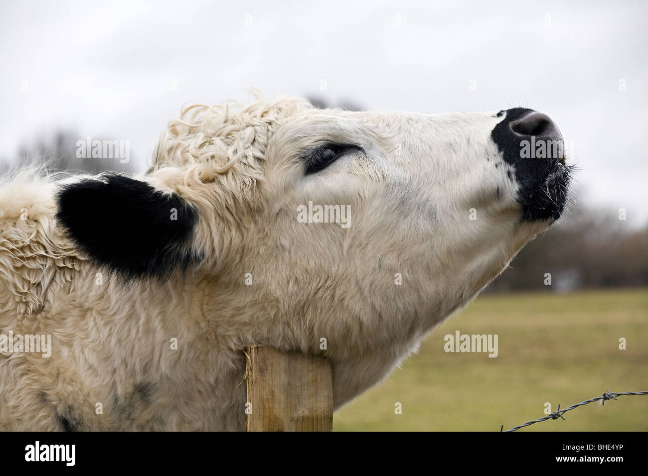 British White cow scratching on fence post - Stock Image