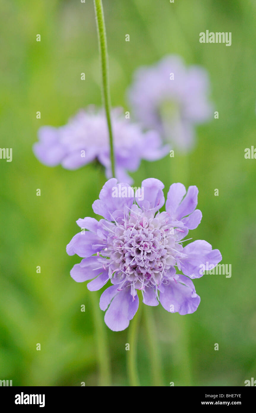 Glossy scabious (Scabiosa lucida) - Stock Image
