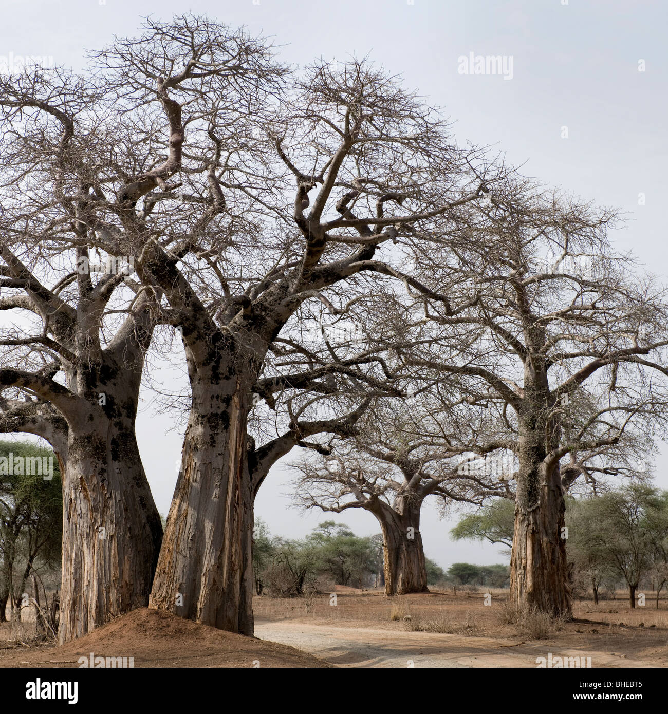 Scenic view of large trees in Africa - Stock Image