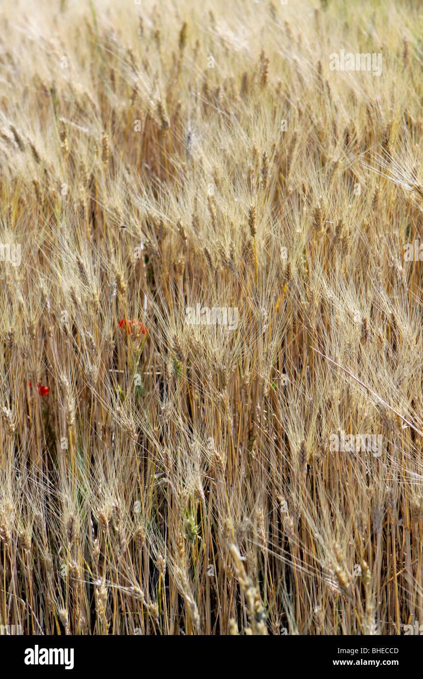Ripe cornfield in the summer Stock Photo