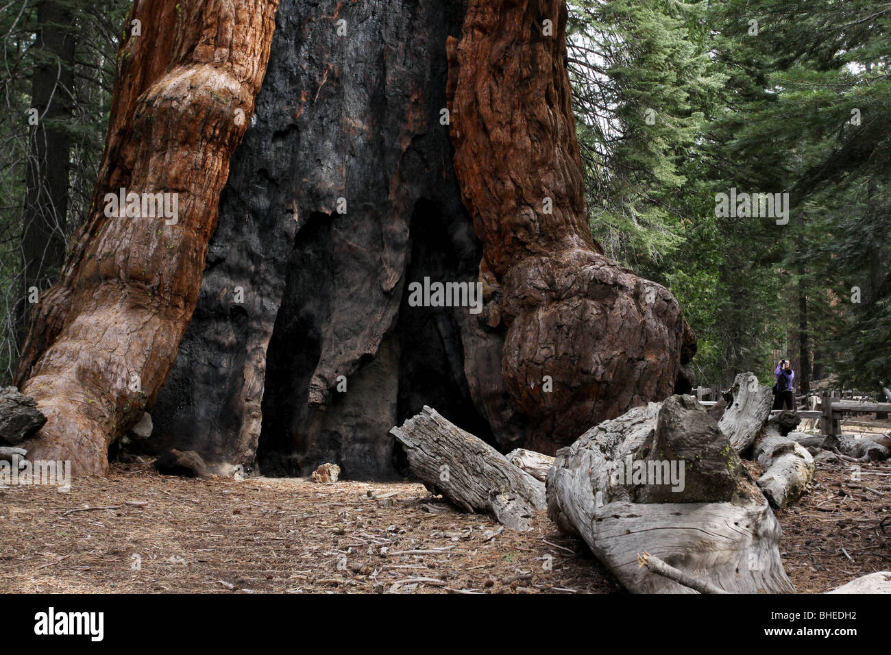 Sequoia tree fire burn scare hiker Mariposa Grove Yosemite National Park - Stock Image