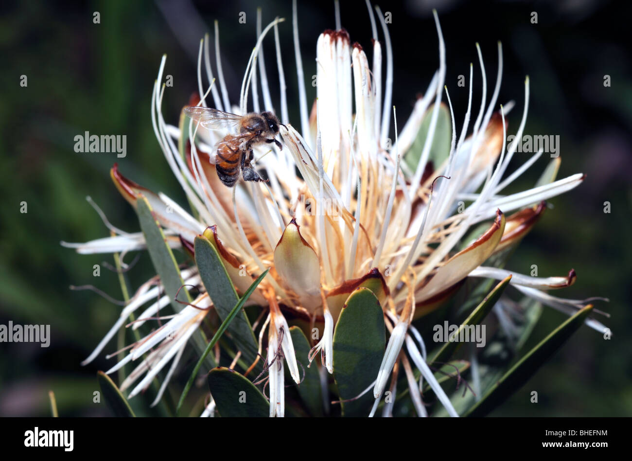 Honey Bee collecting pollen from Protea flower, large pollen sacs- Apis mellifera - Stock Image