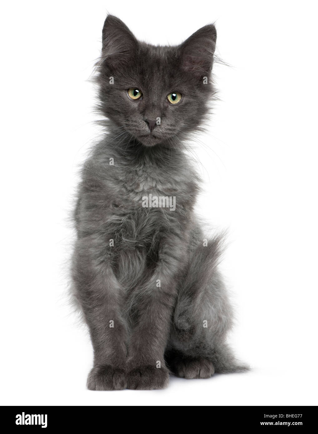 Norwegian Forest Cat, 4 months old, in front of a white background Stock Photo