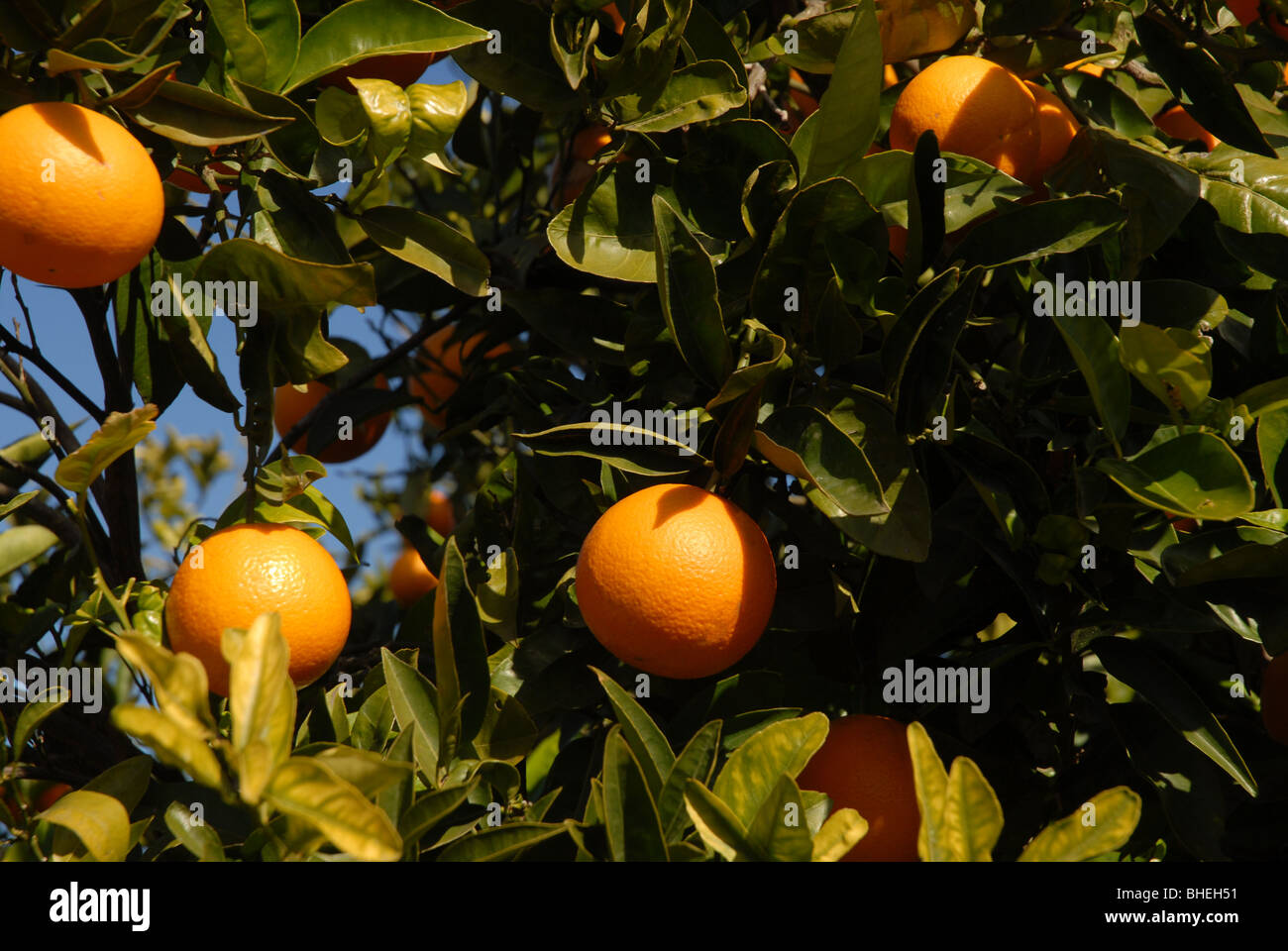 close-up of ripe oranges on tree, Javea / Xabia, Alicante Province, Comunidad Valenciana, Spain Stock Photo