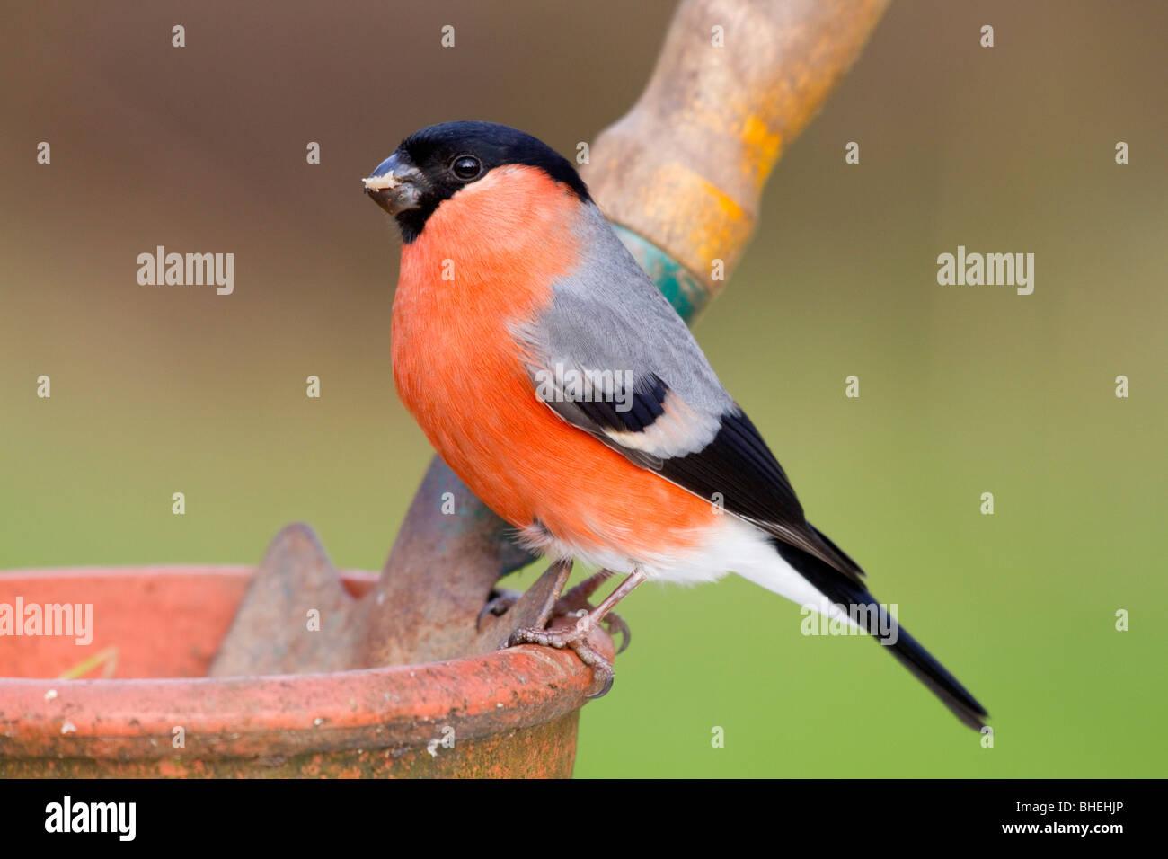 Bullfinch; Pyrrhula pyrrhula; male; on plant pot - Stock Image