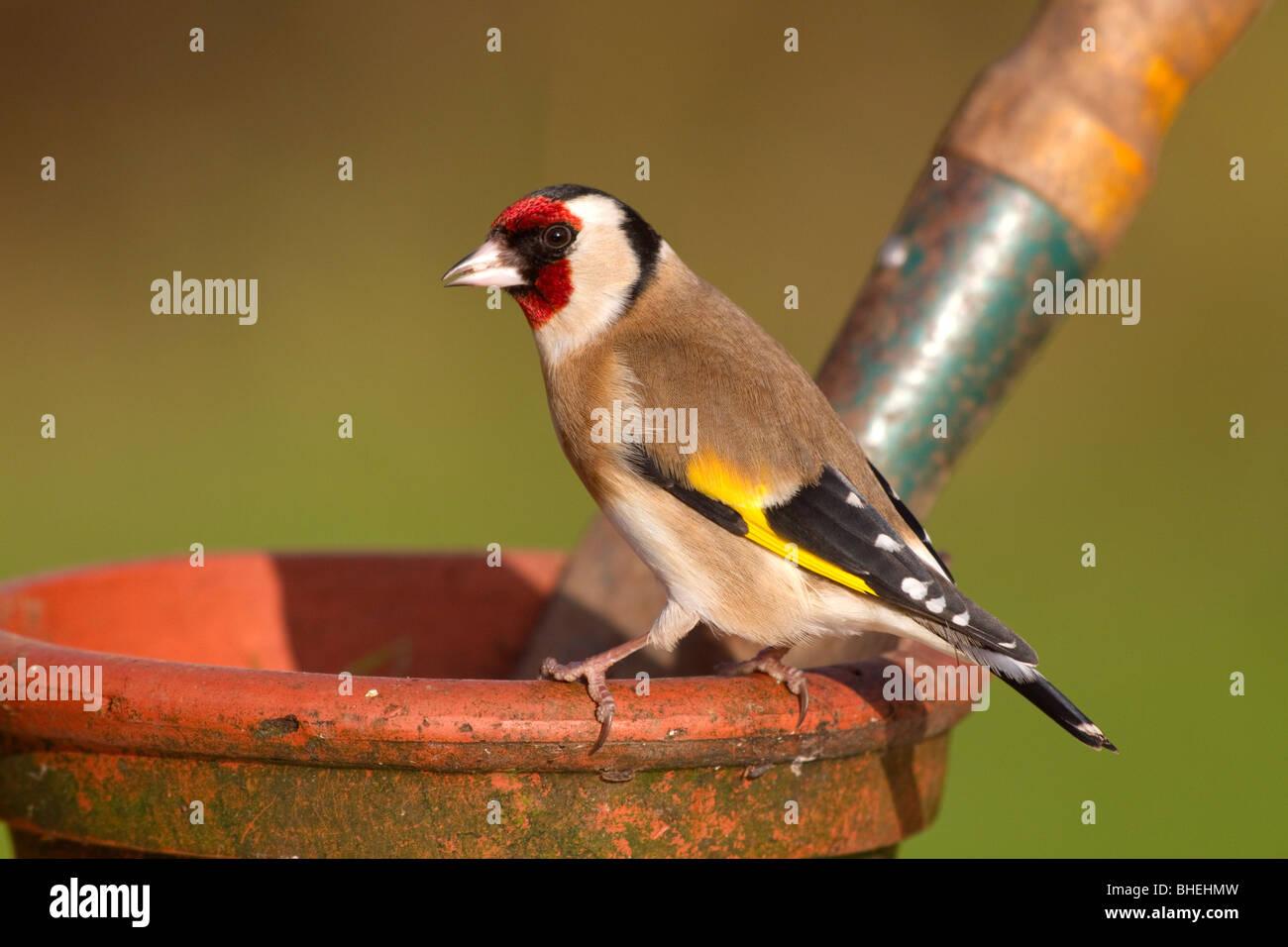 Goldfinch; Carduelis carduelis; on garden plant pot - Stock Image