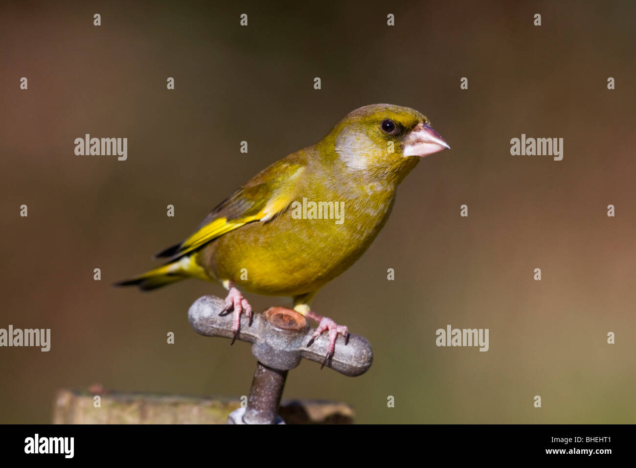 Greenfinch; Carduelis chloris; on garden tap - Stock Image