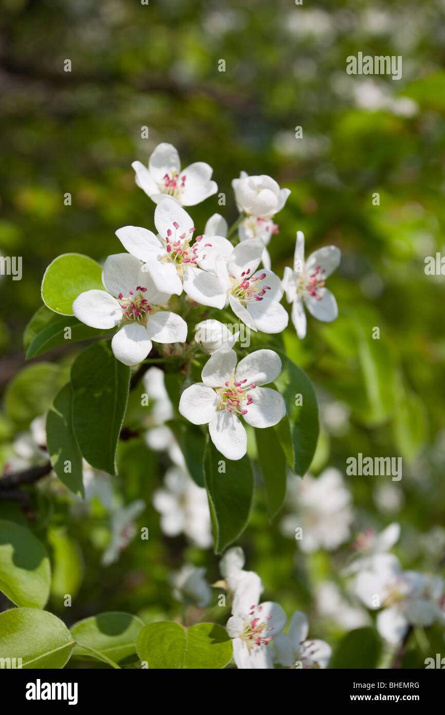 The Pear blossoms white colours in May. - Stock Image