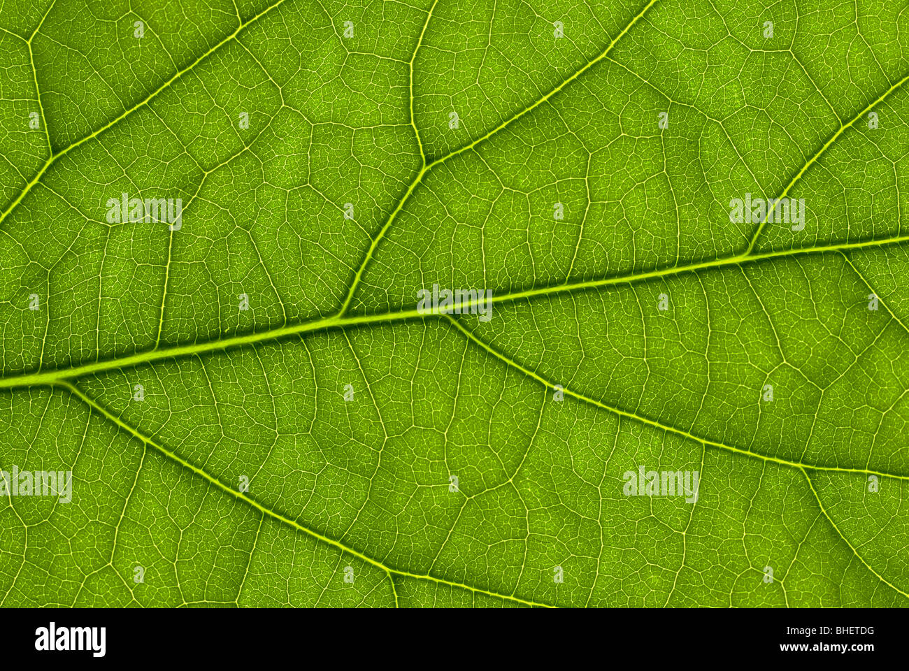 Avocado leaf structure lit up from behind with a flash gun - Stock Image