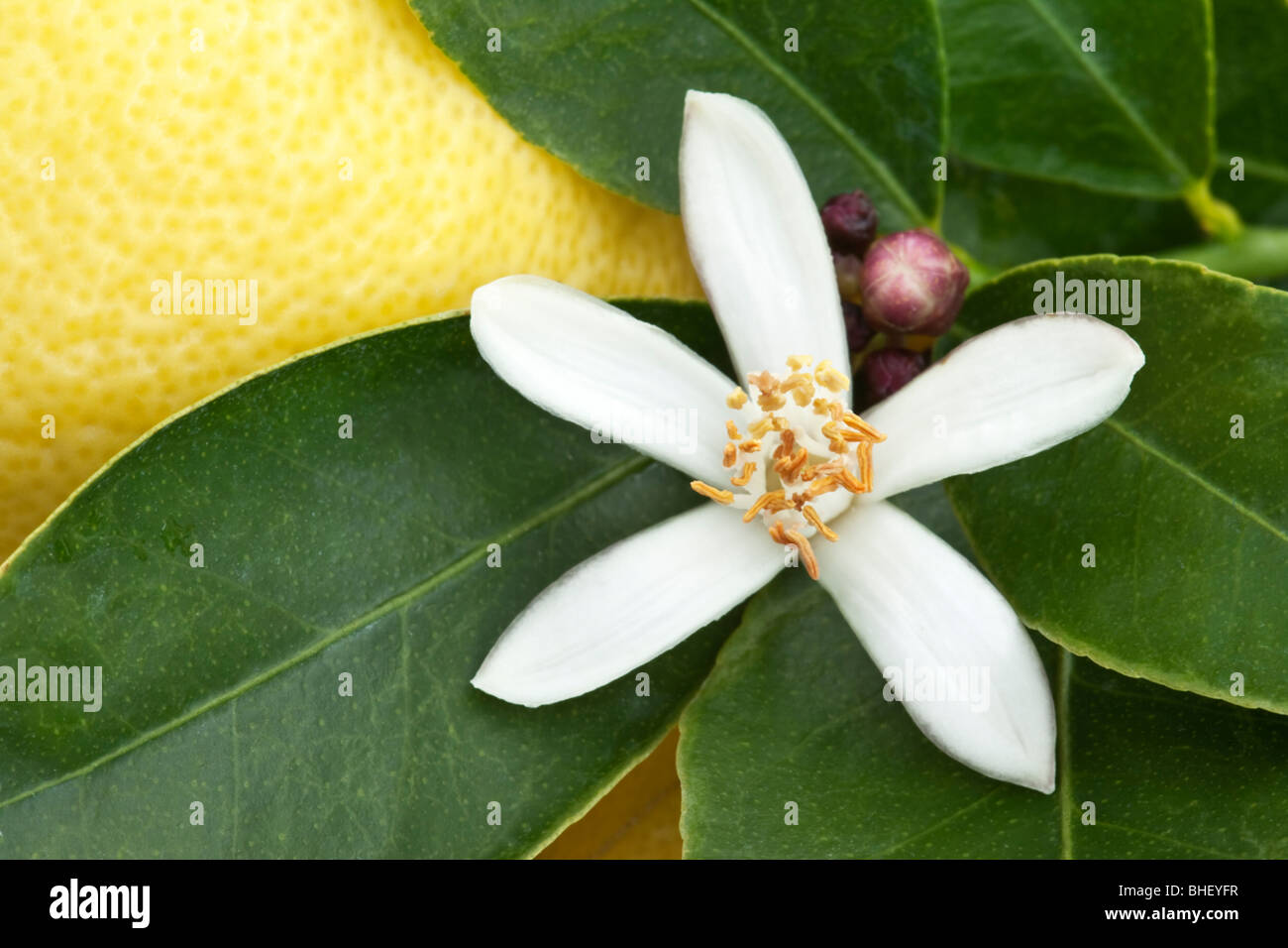 Lemon Blossom, branch. - Stock Image