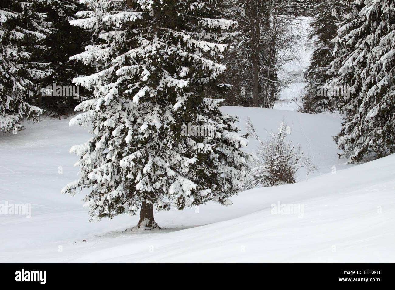 Firs in the snow. Alps near Garmisch-Partenkirchen, Bavaria, Germany - Stock Image
