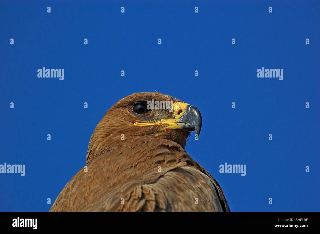 Steppe eagle closeup - Stock Image