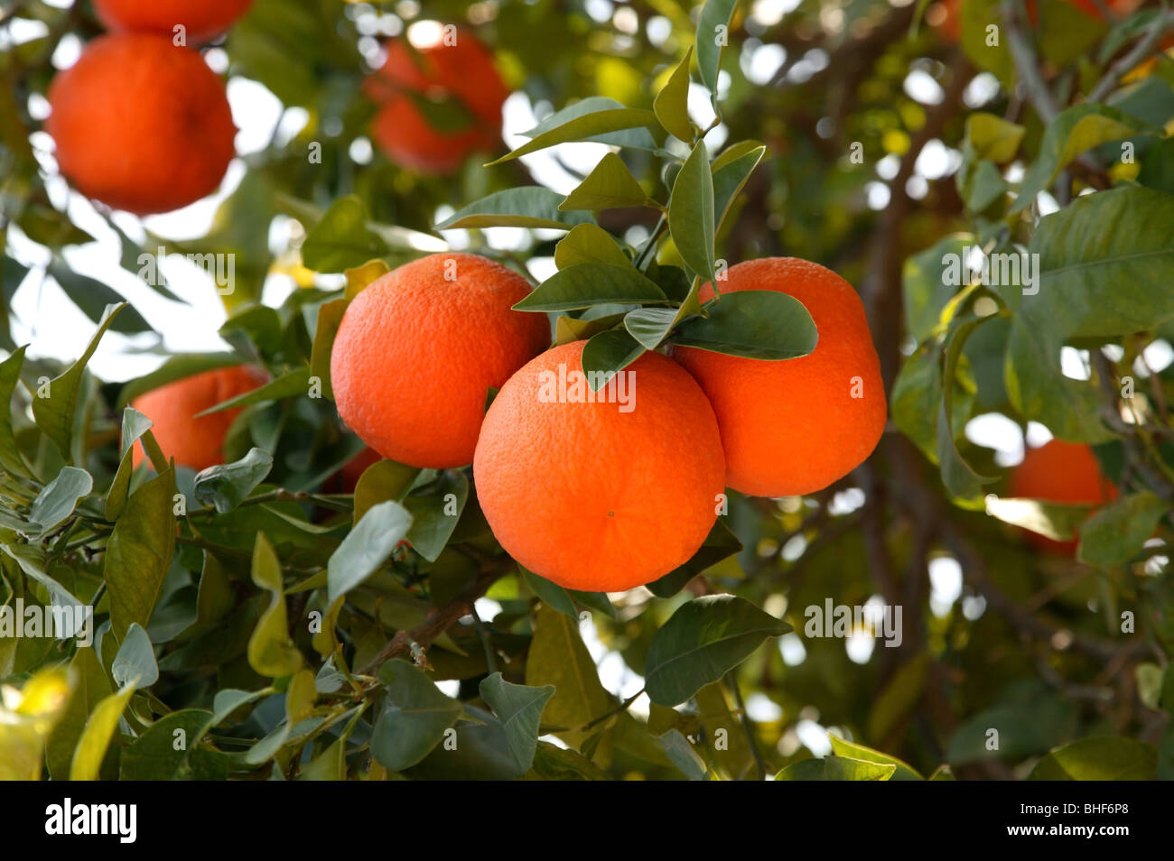 Fresh, ripe oranges growing on tree in Marrakech, Morocco. Stock Photo