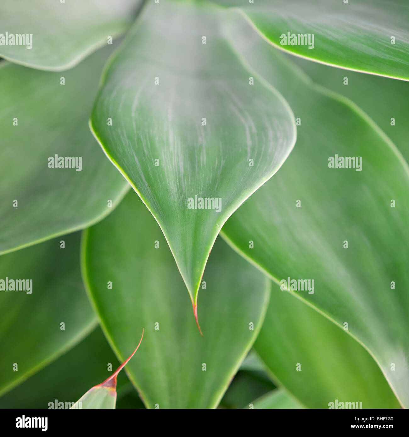 Close up of Agave attenuata leaves in attractive,soft light - Stock Image