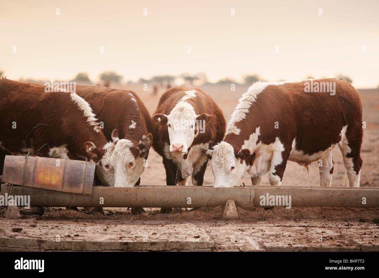 Cattle on barren land Australia - Stock Image