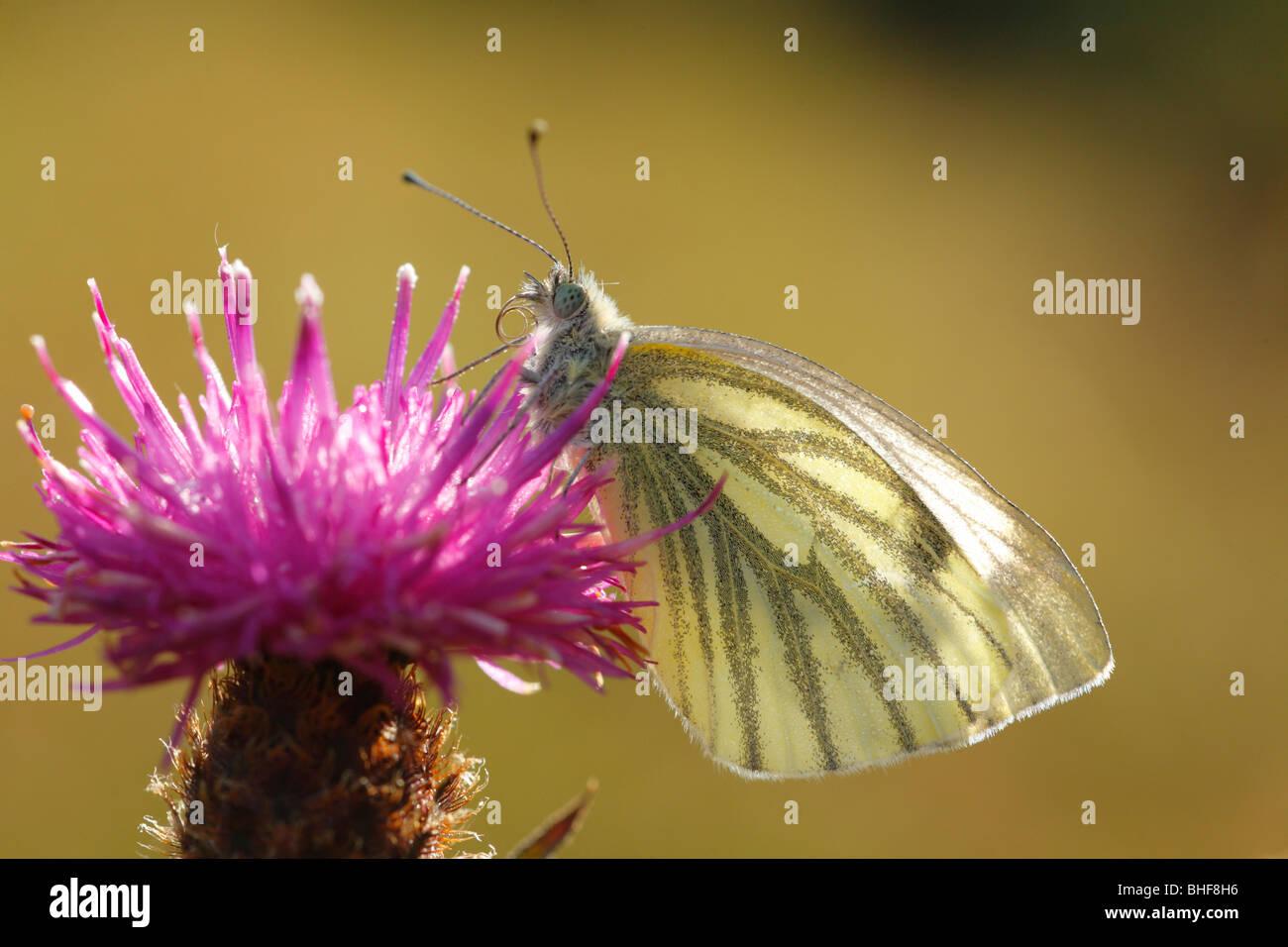Green-veined White butterfly (Pieris napi) feeding on a Knapweed flower. Powys, Wales, UK. - Stock Image
