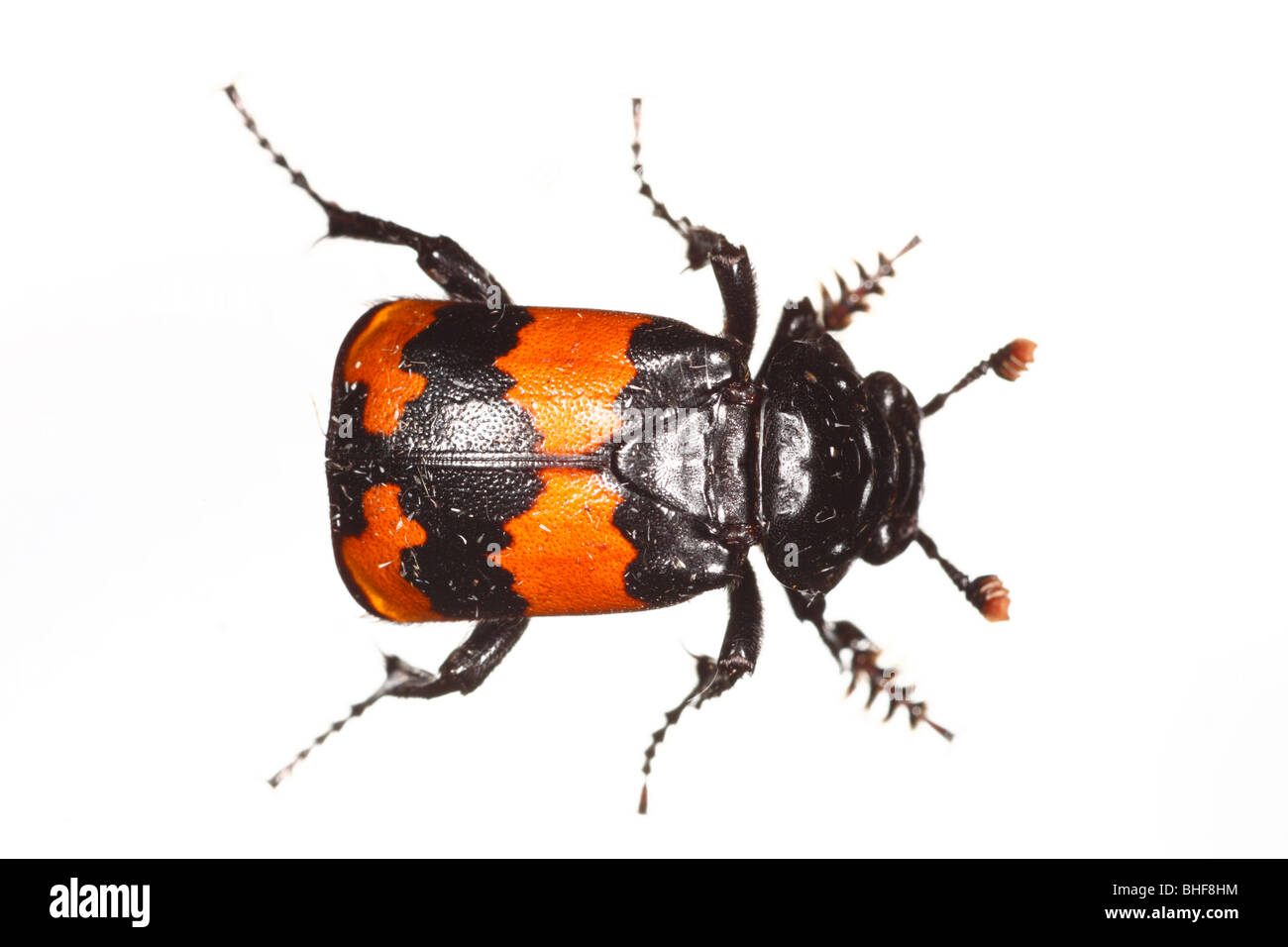 Burying or Sexton beetle (Nicrophorus investigator). Live insect photographed against a white background on a portable - Stock Image