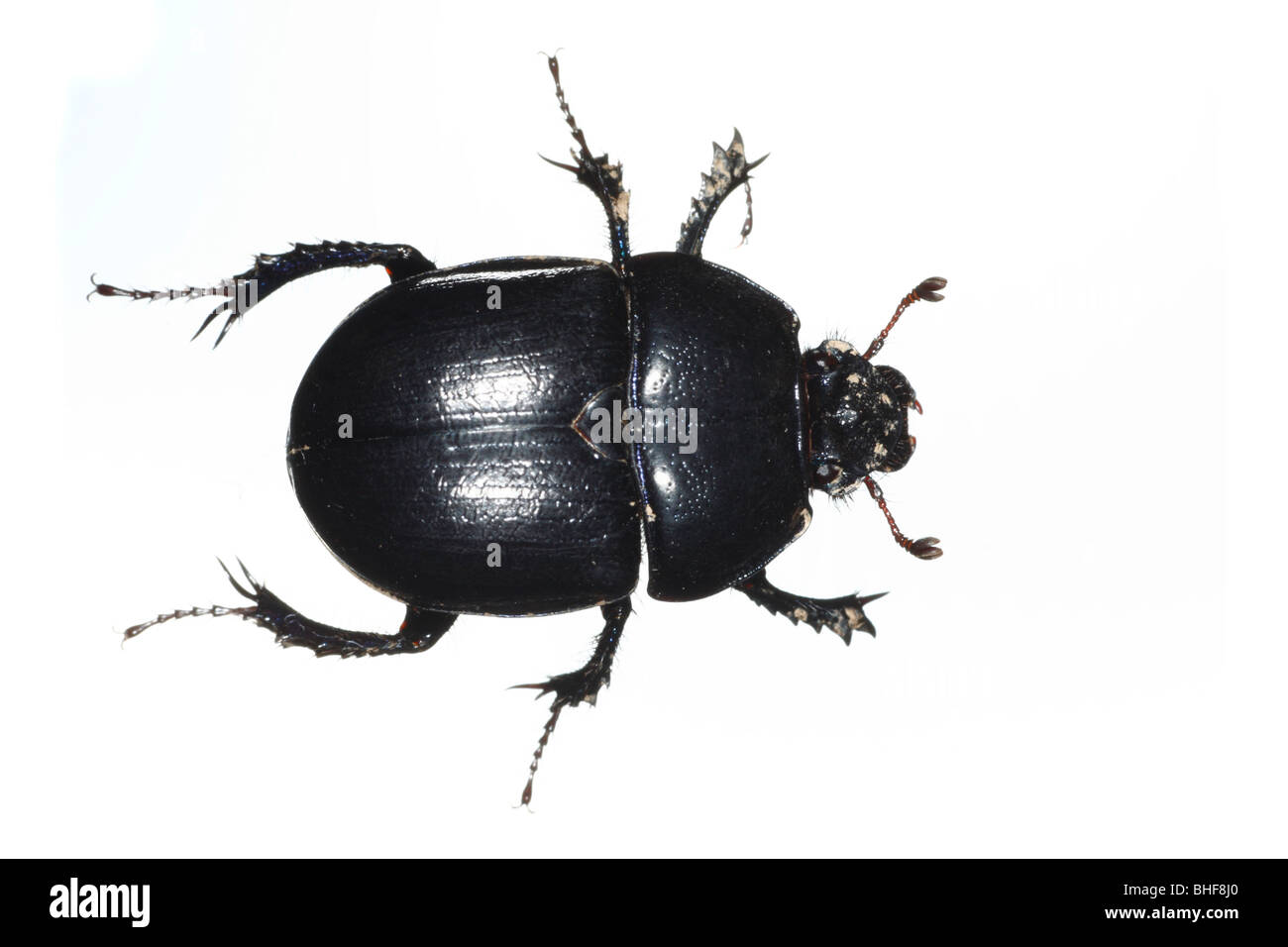 Dor Beetle (Geotrupes stercorarius). Live insect photographed against a white background on a portable studio. - Stock Image