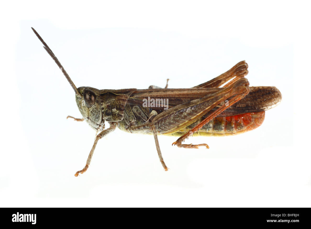 Male Field Grasshopper (Chorthippus brunneus). Live insect photographed against a white background on a portable - Stock Image