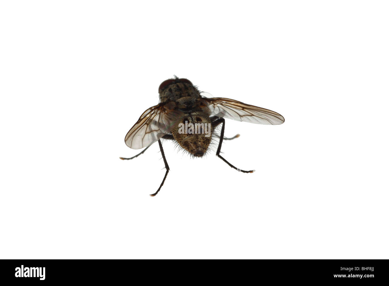 House fly (family Muscidae). Live insect photographed against a white background on a portable studio. - Stock Image
