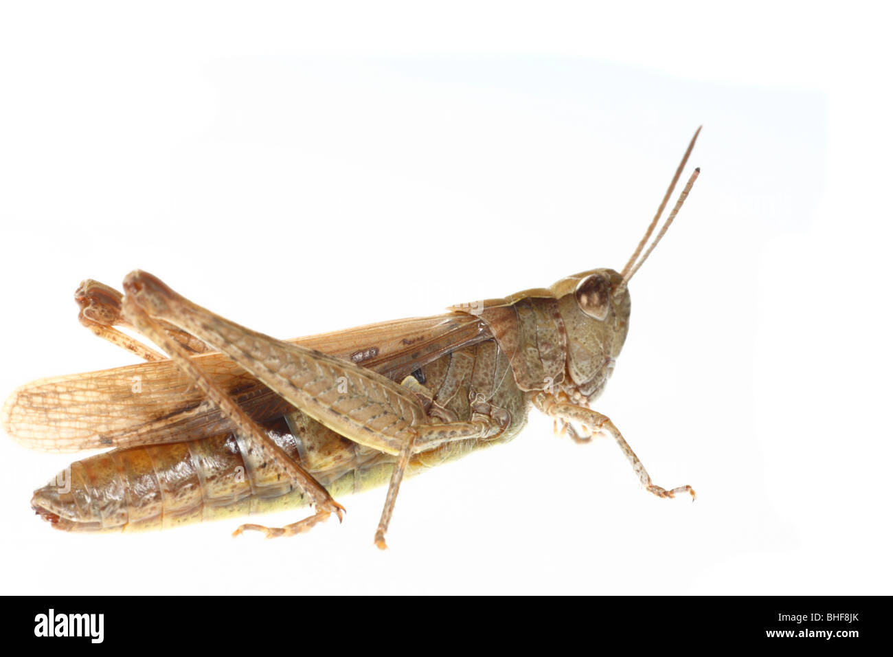 Female Field Grasshopper (Chorthippus brunneus). Live insect photographed against a white background on a portable - Stock Image
