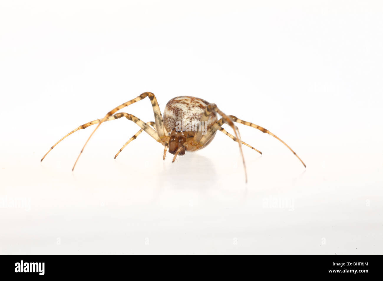 Crab spider (Xysticus cristatus) female. Live spider photographed against a white background on a portable studio. - Stock Image