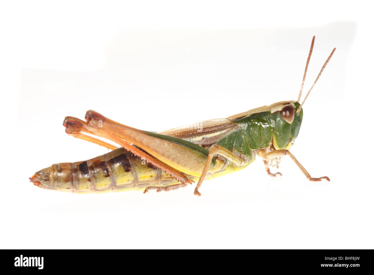 Female Meadow Grasshopper (Chorthippus parallelus). Live insect photographed against a white background on a portable - Stock Image