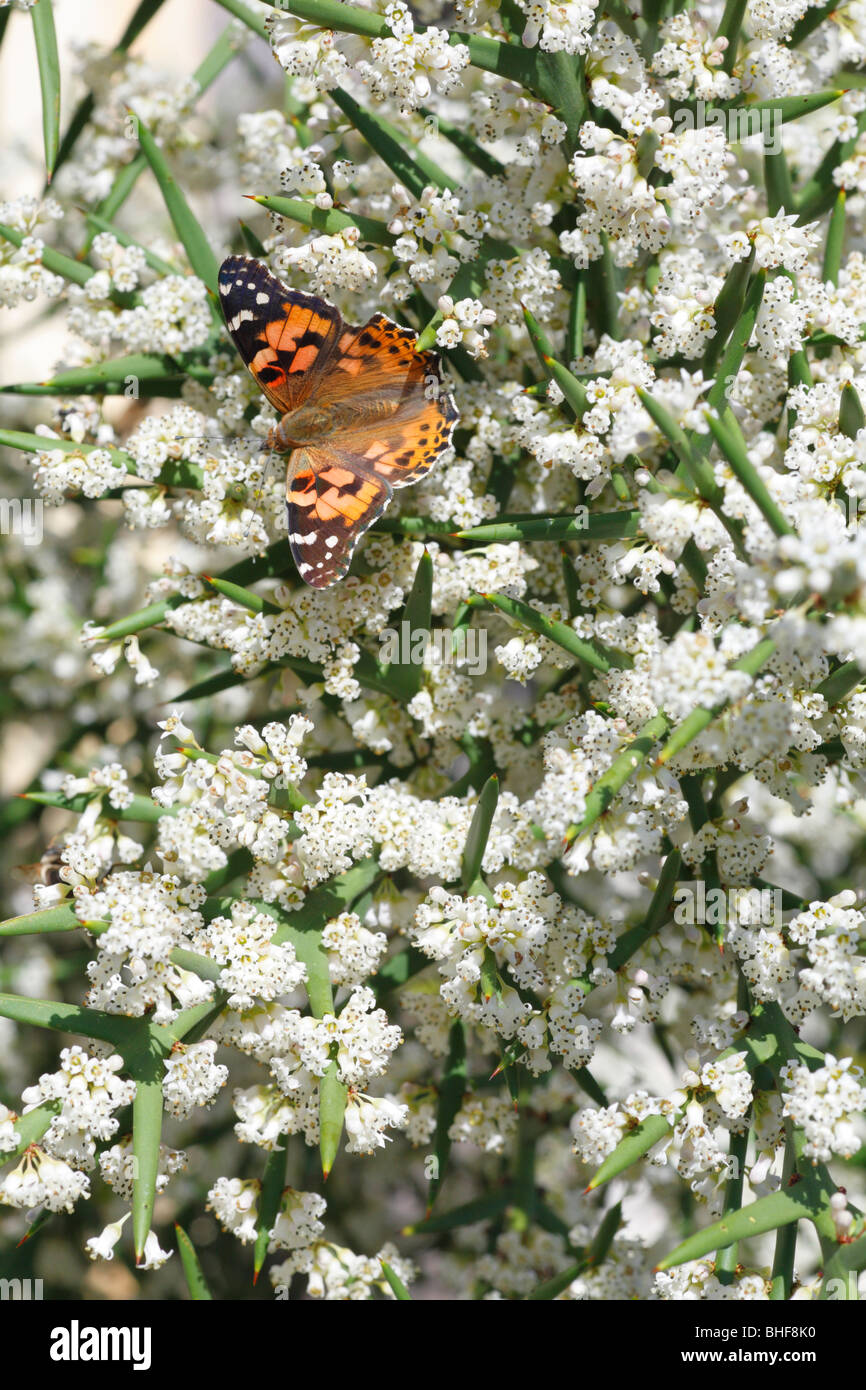 Painted Lady butterfly (Vanessa cardui) feeding on the spiny shrub Colletia spinosissima in a garden. Powys, Wales. - Stock Image