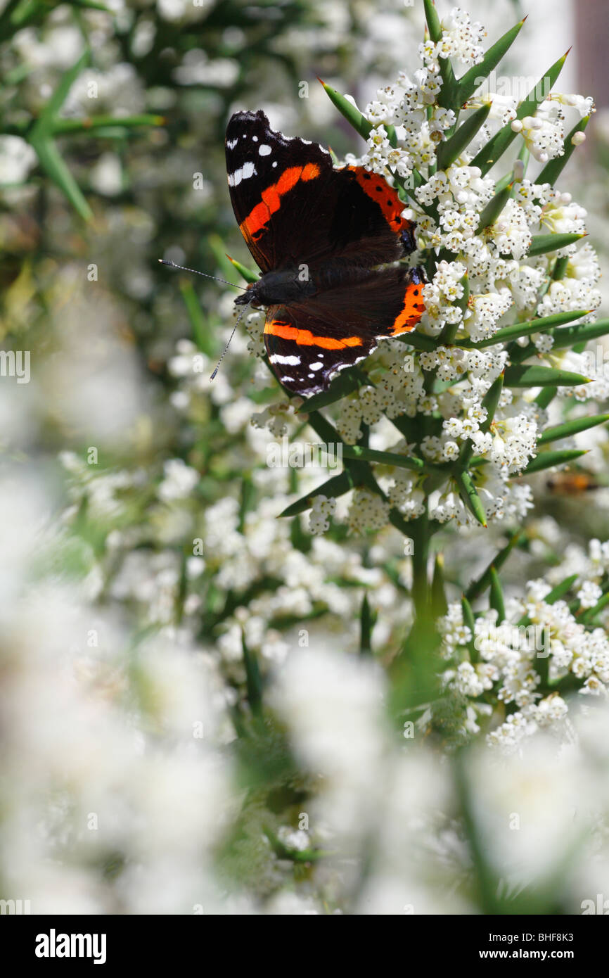 Red Admiral Butterfly (Vanessa atalanta) feeding on the spiny shrub Colletia spinosissima in a garden. Powys, Wales. - Stock Image