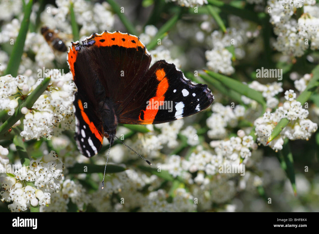 Red Admiral Butterfly (Vanessa atalanta) feeding on the spiny shrub Colletia spinosissima in a garden. Powys, Wales. Stock Photo