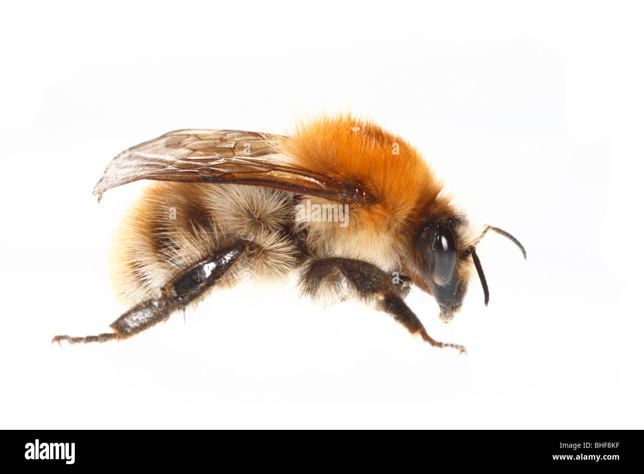 Common Carder Bumblebee (Bombus pascuorum) queen. Live insect photographed against a white background on a portable - Stock Image