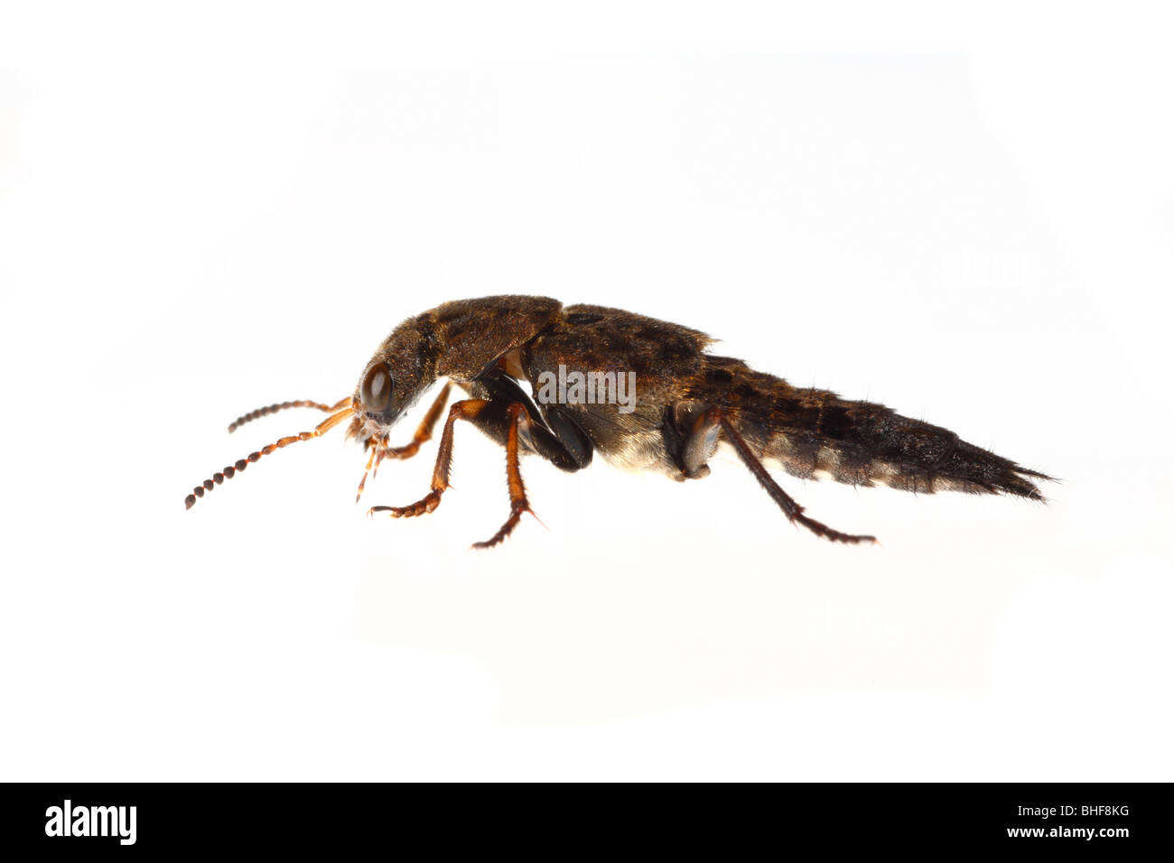 Rove Beetle (Creophilus maxillosus). Live insect photographed against a white background on a portable studio. - Stock Image